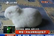 奇怪!天生没有耳朵的兔子