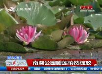 第1报道|南湖公园睡莲悄然绽放