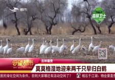 莫莫格湿地迎来两千只早归白鹤