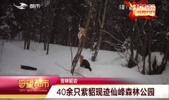 40余只紫貂现迹仙峰森林公园