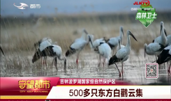守望都市|500多只東方白鸛云集吉林波羅湖國家級自然保護區