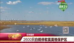 守望都市|镇赉县:2600只白鹤停歇莫莫格保护区