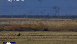 吉林珲春集结数十万只大雁