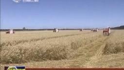 白城市今年第一季燕麦开镰收割