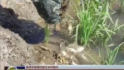 【新技术新模式助力乡村振兴】稻田综合种养创丰收
