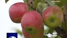 吉林报道|东丰县:金红苹果丰收上市