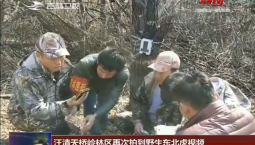 汪清天桥岭林区再次拍到野生东北虎视频