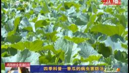 乡村四季12316|四季科普——香瓜的病虫害防治