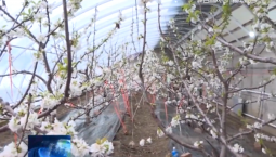 吉林報道|長白:寒冬里的櫻桃 助力脫貧增收_2020-01-18