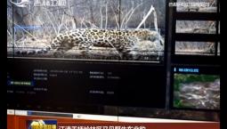 汪清天桥岭林区又见野生东北豹