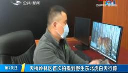 第1報道|天橋嶺林區首次拍攝到野生東北虎白天行蹤