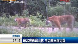 新闻早报|东北虎再现山林 生态圈日趋完善