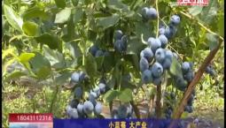 乡村四季12316|小蓝莓 大产业