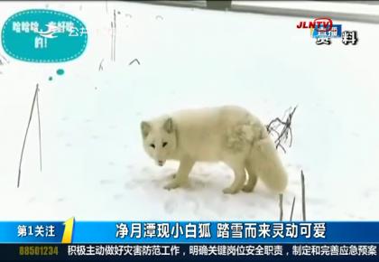 第1报道|净月潭现小白狐 踏雪而来灵动可爱