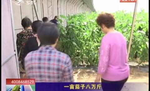 乡村四季12316_一亩茄子八万斤
