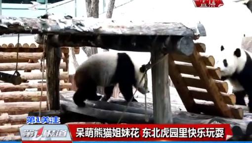 呆萌熊猫姐妹花 东北虎园里快乐玩耍