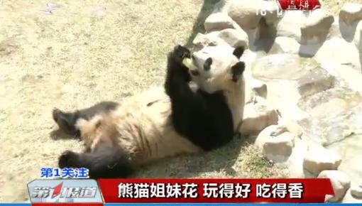第1报道|吉林省东北虎园:熊猫姐妹花 玩得好 吃得香