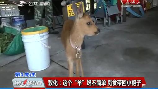 """第1报道 敦化:这个""""羊""""妈不简单 觅食带回小狍子"""