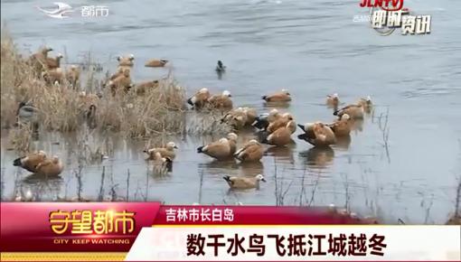 守望都市|数千水鸟飞抵江城长白岛越冬