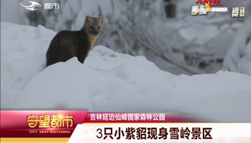 守望都市 |吉林延边仙峰国家森林公园:3只小紫貂现身雪岭景区
