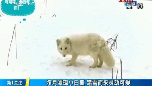 第1報道|凈月潭現小白狐 踏雪而來靈動可愛