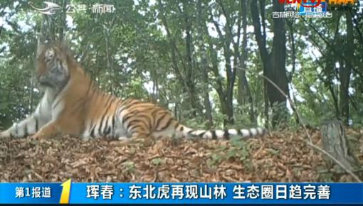 第1报道|珲春:东北虎再现山林 生态圈日趋完善