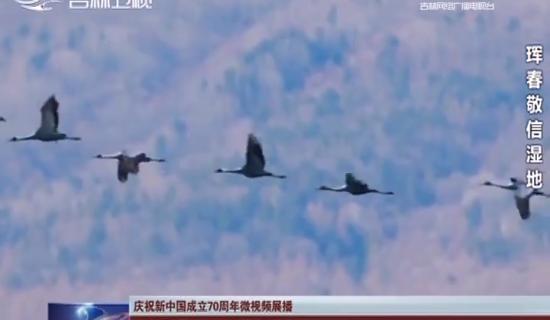 【庆祝新中国成立70周年微视频展播】大美珲春:珍稀鸟类温暖的家