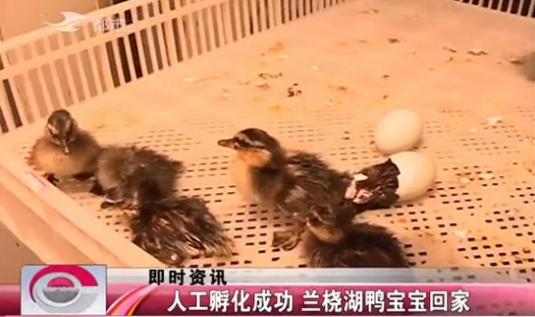 【独家视频】人工孵化成功 兰桡湖鸭宝宝回家