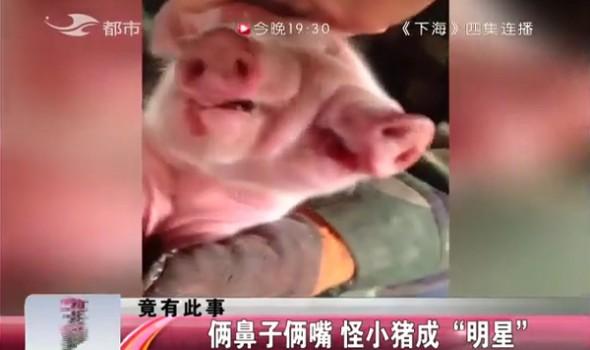 """【独家视频】俩鼻子俩嘴 怪小猪成""""明星"""""""