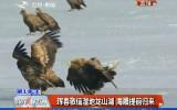 第1报道|珲春敬信湿地龙山湖 海雕提前归来