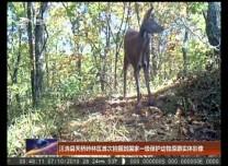 汪清县天桥岭林区首次拍摄到国家一级保护动物原麝实体影像