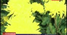 乡村四季12316 冬天开的菊花论朵卖