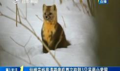 第1报道|仙峰雪岭高清摄像机首次拍到3只呆萌小紫貂