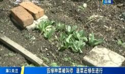 第1报道 长春市:毁绿种菜被叫停 退菜还绿在进行