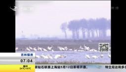 濒危物种白鹤 即将启程北迁