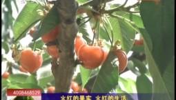 乡村四季12316_火红的果实 火红的生活