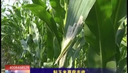 乡村四季12316 粘玉米喜获丰收