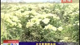 乡村四季12316 北京夏菊靓金秋