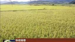 【秋收画卷】柳河:水稻收割进行时