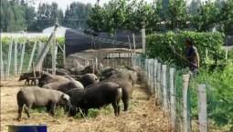 【勇立潮头看钱江】养猪场变身生态庄园 绿色高效成农业高质量发展新兴奋点