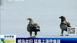 新闻早报|候鸟北归 猛禽上演夺食战