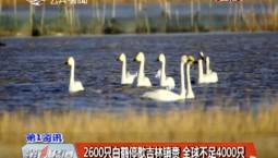 第1报道 2600只白鹤停歇吉林镇赉 全球不足4000只