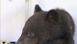 长白山自然保护管理中心成功救助一只黑熊幼崽