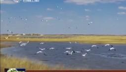 2600只白鶴停歇吉林莫莫格國家級自然保護區