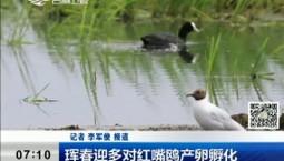 新聞早報|琿春迎多對紅嘴鷗產卵孵化
