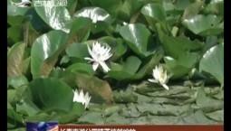 长春南湖公园睡莲悄然绽放