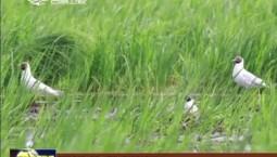 珲春迎多对红嘴鸥产卵孵化
