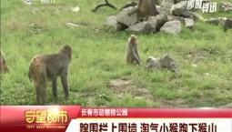 守望都市|蹿围栏上围墙 淘气小猴跑下猴山