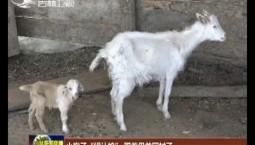 """小狍子""""错认娘"""" 跟着母羊回村子"""