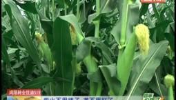 乡村四季12316|玉米出穗后 技术被认可